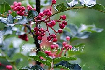 Poivron rouge chinois Graines jardin Vente chaude Prickly Graines Ash Peppertree Funny Farm Pricklyash Légumes Fruits de semences 20 Pcs 12