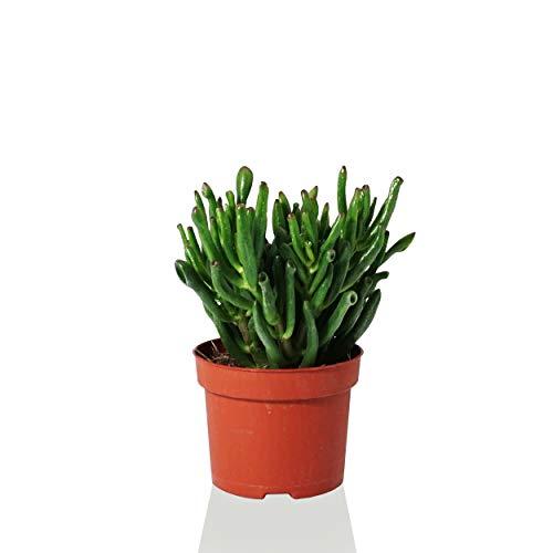 Indoor-Helden Geldbaum Crassula ovata 'Gollum' Zimmerpflanze Sukkulente Pfennigbaum Urban Jungle pflegeleicht