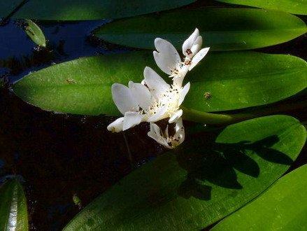 Afrikanische Wasserähre - Aponogeton distachyos