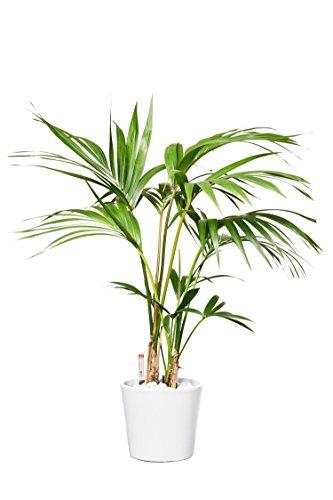 EVRGREEN Kentiapalme | australische Zimmerpalme | Zimmerpflanze in Hydrokultur | im Set inkl. Keramiktopf (weiß) | howea forsteriana