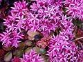 Teppichsedum 'Schorbuser Blut' - Sedum spurium 'Schorbuser Blut' - Stauden von Native Plants von Native Plants auf Du und dein Garten