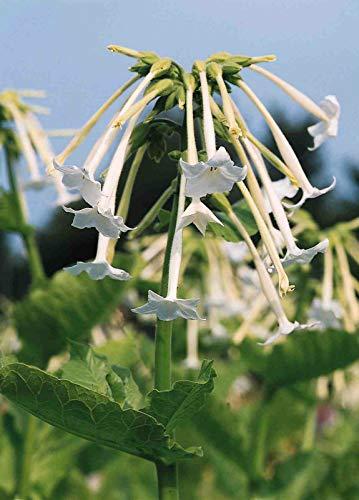 Portal Cool Nicotiana sylvestris 'White Trompeten' - 4000 Seeds - Hh Jahr