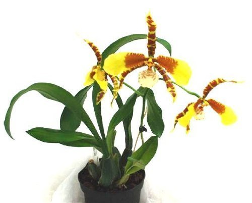 an-orchid-flowering-size-variety-rossioglossum-rawdon-jester-13cm-pot