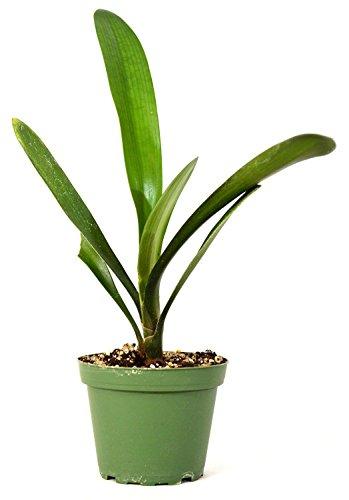 "PLAT FIRM GERMINATIONSAMEN: Good Hope Clivia - 4"" Pot Kräftiges Wachstum GIFT Leicht Reife Ferien gelbe Blume"