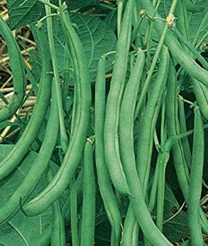 Farmerly 100 Seeds Contender Graines de Haricot sans OGM