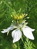 Portal Cool Las semillas de comino Negro 100+ Nigella sativa ~ romana Corriander culinario hierba de la especia