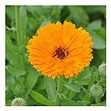 Echte Ringelblume - gefüllte, tief orange Blüten – Calendula officinalis – Zier/Arzneipflanze - 200 Samen