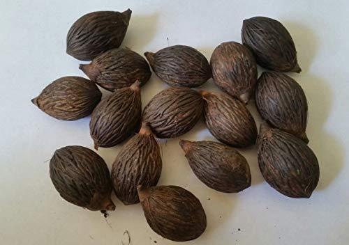 PLAT FIRM GERMINATIONSAMEN: Foxtail Palm Seeds 15 frische Samen gereinigt August 2017 getrocknet Wodyetia bifurcata
