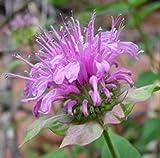 PLAT FIRM Germination Les graines Graines PLATFIRM-250 Bergamote/baume d'abeille/Monarda fistulosa (Herbes)