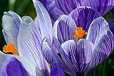 VERO HOME 10464 by TobiasBecker Natur - Krokus-Blüte im Frühjahr, Premium-Druck auf 90 x 60 Birkenholz
