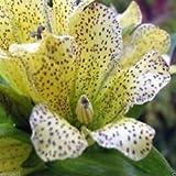 Graines de gentiane - Spotted (Gentiana Punctata) Jaune Herb Fleur, 10 graines!