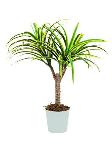 artplants – Deko Dracena-Drachenbaum, Dekotopf, 55 Blätter, grün-gelb, 50 cm – Kunst Dracaena/Künstliche Pflanze