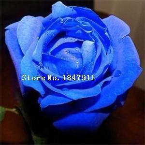 Grande vente Livraison gratuite New Lovely 100 Pcs Rose Graines Fleurs Bonsai / Rare Violet Noir Blanc Rouge Bleu Rose Graines