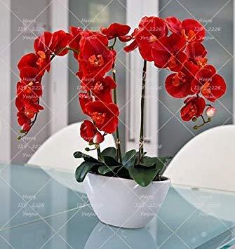 PLAT FIRM Germinazione I semi PLATFIRM-4: 100pcs / bag bonsai semi Balsam, Balsamina Impatiens semi di fiori, piante bonsai per l'impianto di casa e il giardino fai da te 4