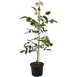 Müllers Grüner Garten Shop Walnuss Apollo, veredelter Walnussbaum 120-170 cm, wohlschmeckende Nuss, Pflanze im 10 Liter Topf