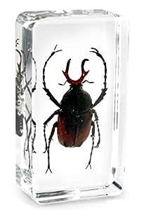 Presse-papiers avec de vrai insecte [ramure coléoptère] encastré dans un bloque de résine clair Crystal. Poids 75g