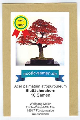 Bonsai - Blutfächerahorn - Roter Fächerahorn - 10 Samen