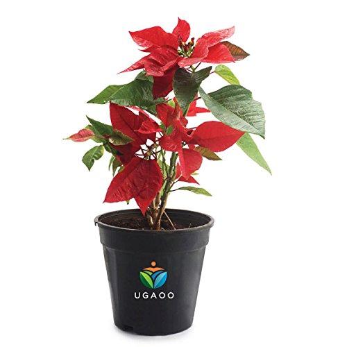 Ugaoo Poinsettia Natural Live Plant