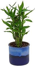 Exotic Green Cut Leaf Bamboo Indoor Plant Ocean Blue Pot