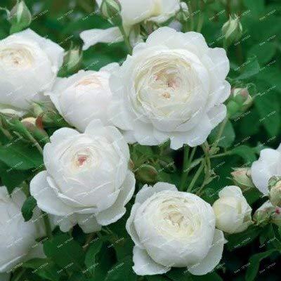 Pinkdose Creepers Blumen-flores Rosa, Chinesisch hübsche Kletterrosen Bonsai, 150 Paket/bag Zierpflanze Rost Förderung Pflanzengarten: Weiß