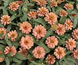 Bobby-Seeds Zinnien Samen Profusion Double Salmon Portion