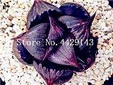IDEA HIGH Seeds-200 Pcs/Lot Bonsai Büro Schreibtisch Blumen Yulu Pseudotruncatella Stein Viva Lithops Sweatshirts Bonsai Anti-Strahlung Luftreinigung: 3