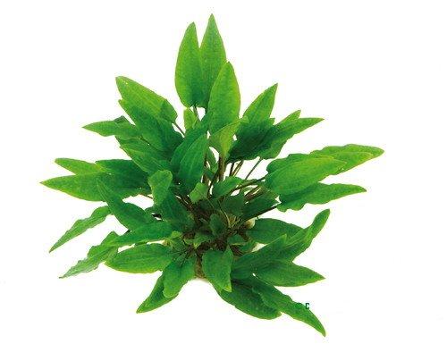 XL In-Vitro Grüner Wasserkelch / Cryptocoryne wendtii grün