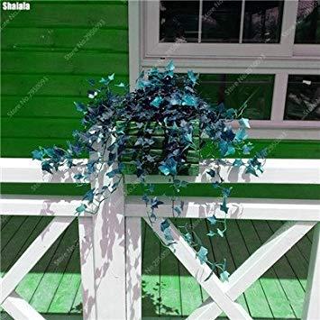 100 pcs / sac exotiques Graines rares Couleur extérieure hybride Escalade Blooming Bonsai Potted Plant for Lvy Décor de jardin 7
