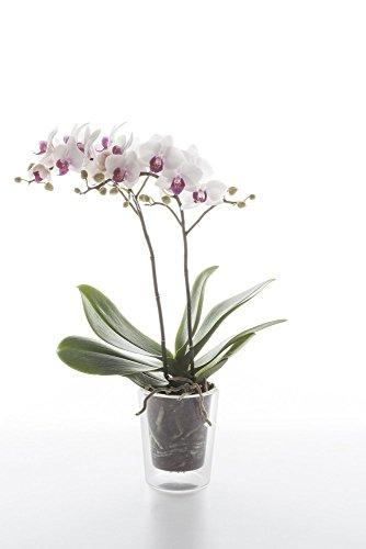 Set vaso componibile in vetro trasparente HYDRA per orchidee e bulbi di primavera con sistema di filtraggio. Ideale per bulbi, fiori e piante aromatiche. Misure: cm H 12 diam.10