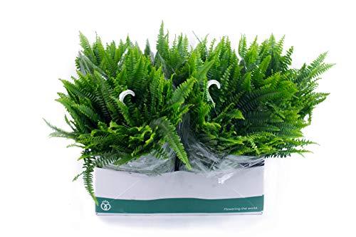 ✔️ 5 Stück Schwertfarn Ampel zum Hängen. A1 Qualität ✔️ MPS kontrolliert ✔️ Unsere Pflanzen sind bereits für Sie vorgedüngt ✔️