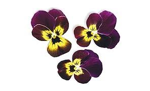 Capsule Viola Rubino e Oro Plantui - Confezione da 3 pezzi