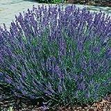 Pack x6 English Lavender Angustifolia 'Hidcote' Perennial Garden Plug Plants