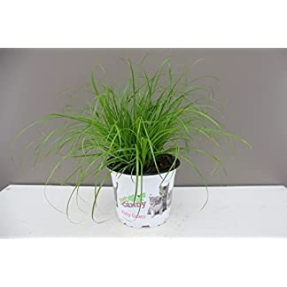 Excellent Gift Present for cats - Cat Kitten Grass - Ideal for house and flat cats - Grass Salad - Indoor decorative… 12