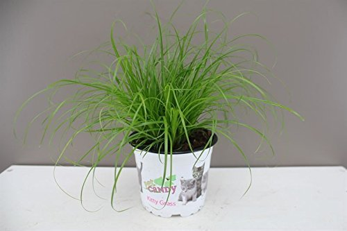 Excellent Gift Present for cats - Cat Kitten Grass - Ideal for house and flat cats - Grass Salad - Indoor decorative… 1