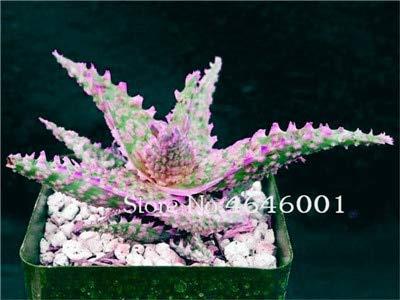 AGROBITS semi: ! Vendita calda 102 pezzi rari di colore del giardino Aloe bonsai Lithops, piante in vaso suculentas flores Planta Assorbire: 18