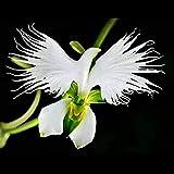 Xianjia Garten - Selten Japaniche Vogelblume-Orchidee Blumensamen weiß exotische Saatgut mehrjährig winterhart pflegeleicht Zimmerpflanze für Garten Balkon bonsai (100)