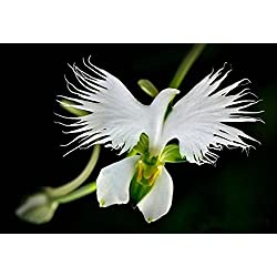 50 Samen Seltene Weiße Taube Orchidee White Dove Orchids