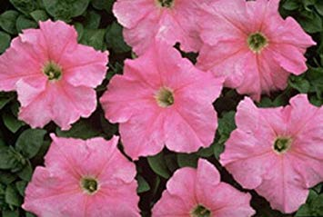 Farmerly 50 Seeds of Pelleted Supercascade Blush Petunia Seeds Super Cascade Petunia Trailing - Petunia Trailing