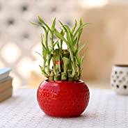 Ferns N Petals 2 Layer Bamboo in Red Ceramic Pot in Red Round Shape Pot