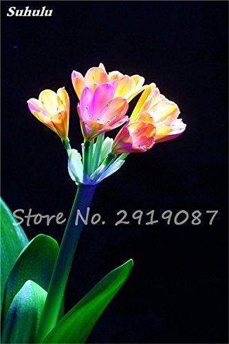 100 Pcs Clivia Graines bon marché Clivia Fleurs Mix Couleurs Bonsai Balcon fleur pour jardin meilleur cadeau pour les enfants So Beautiful 15
