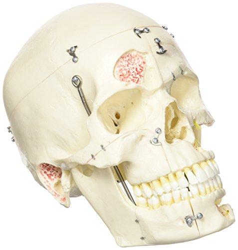 3B Scientific D10/1 Modelo de anatomía humana Incisivo Inferior, 2 Piezas - 3B Smart Anatomy