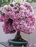 HONIC I Semi Confezione: 10 Semi Japaneseing Fiore di ciliegio Sakura Bonsai Bonsai