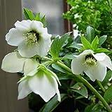 Sisaki Graines de Galanthus Snowdrop automne bulbes de jardinage Graines
