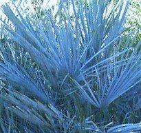 Winterharte Blaue Zwerg-Palme 10 Samen -Chamaerops humilis var . cerifera von Samenchilishop auf Du und dein Garten