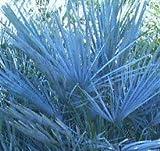 Winterharte Blaue Zwerg-Palme 10 Samen -Chamaerops humilis var . cerifera