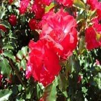 Rose Rosa 'Rotillia Liter 3 AA-Quality