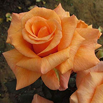 Shop Meeko Verstecktes Juwel - Bareroot Garden Rose Bush - Orange/Pfirsich-Blüte, Repeat Blüte