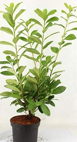 10 Kirschlorbeer Pflanzen, Höhe: 60-70 cm ab Topf, Prunus Rotundifolia