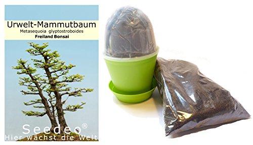Seedeo Bonsai Anzuchtset Urwelt-Mammutbaum (Metasequoia glyptostroboides)