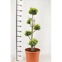 10x Elm Baum Chinesischer Ulmus parvifolia Samen Baumsamen Garten #220